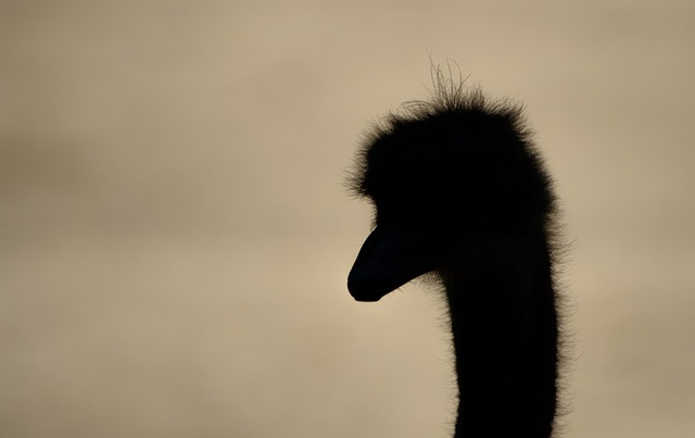 ostrich-219750_640