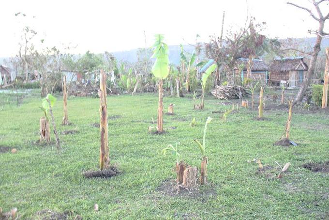 切り口から生えてきたバナナの木