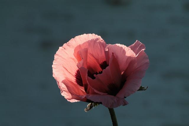 poppy-869189_640